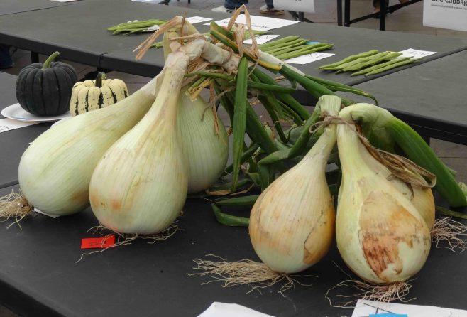 Amazing onions | P Marples
